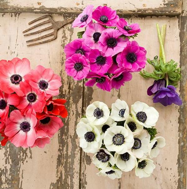 wunderschöne-anemonen-in-drei-verschiedenen-farben
