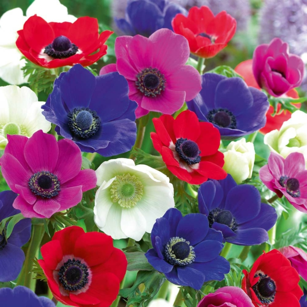wunderschöne-anemonen-in-mehreren-farben
