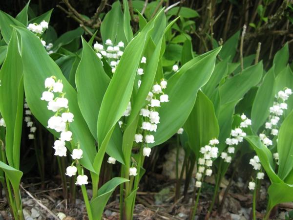 wunderschöne-blumen-frühlingsdeko-frühlingsblumen-in-weiß-lily_of_the_valley-weiße-frühlingsblumen