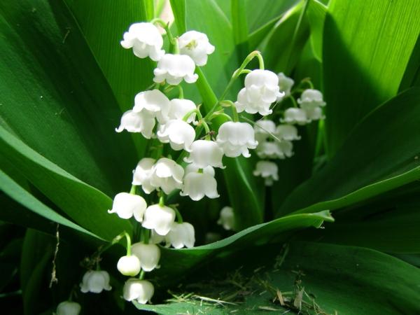 wunderschöne-blumen-frühlingsdeko-frühlingsblumen-in-weiß