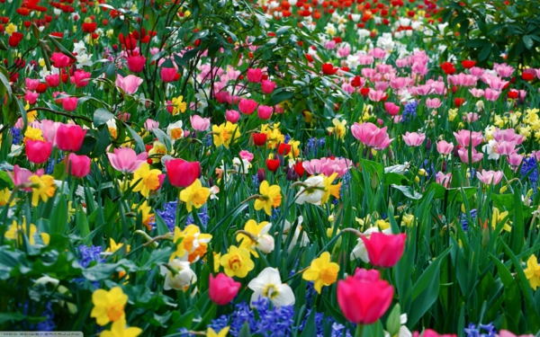 wunderschöne-frühlingsblume-tulpen-narzissen-gelb