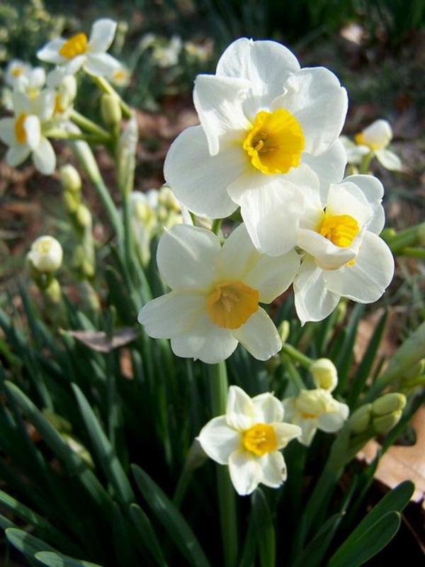 wunderschöne--narzisse-gartenpflanzen-deko-für-den-garten-frühlingsblumen-gelb