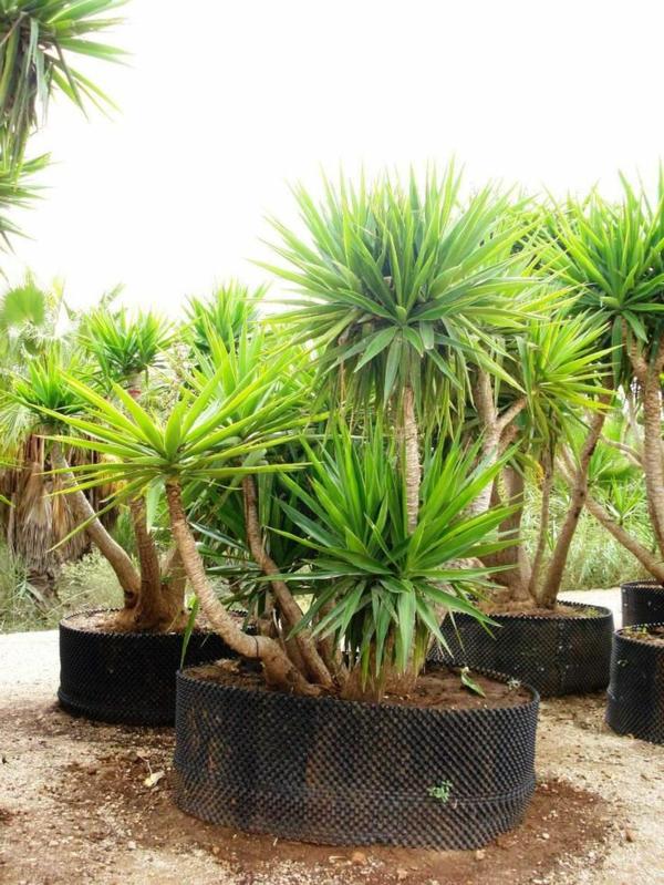 yucca-elephantipes-yucca-winterhart