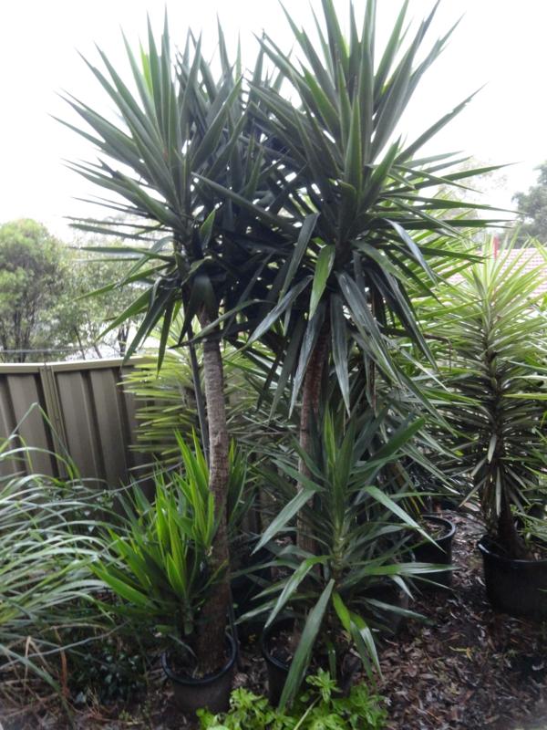 yucca-pflanze-gartenpflanzen-palmen-deko-für-den-garten-garten-gestaltren