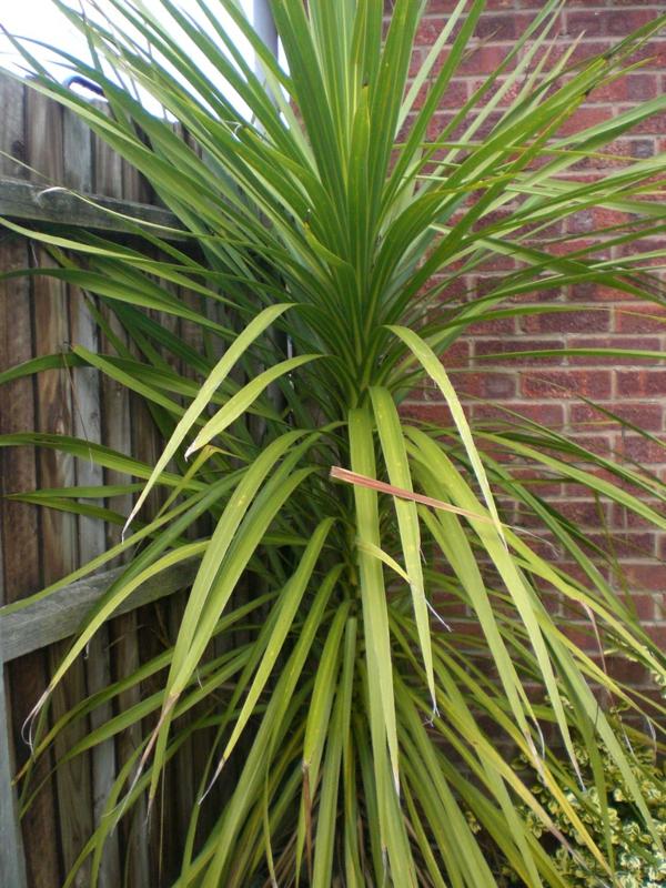 Yucca palme 26 fantastische bilder zur inspiration for Zimmer yucca palme bluht