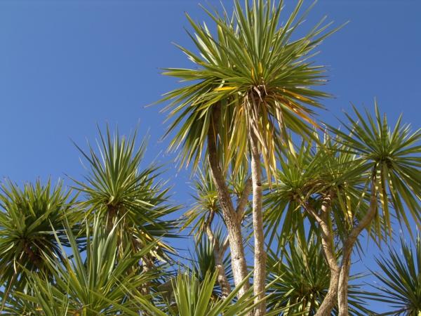Yucca Palme Wohnzimmer : Yucca Palme – 26 fantastische Bilder zur ...