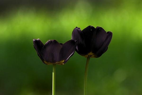 zwei-wunderschöne-schwarze-tulpen