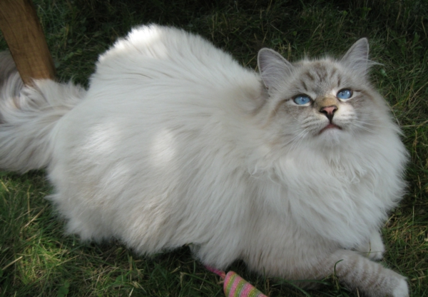 Katze-auf-Gras