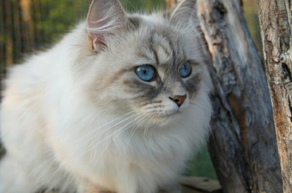 sibirische-Katze-in-den-Bäumen