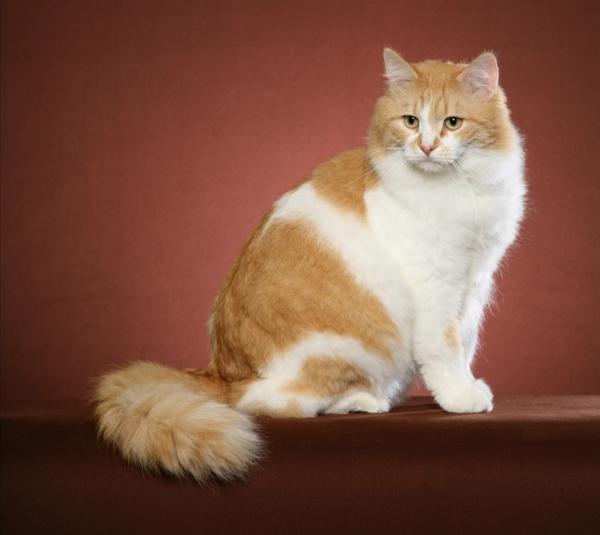 Katze-in-weiß-und-rötlich-braun