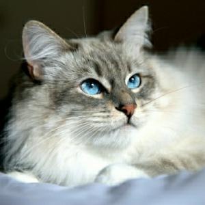 Die sibirische Katze - 30 supersüße Bilder