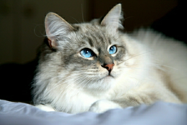 Ragdoll Cat Breed Hypoallergenic