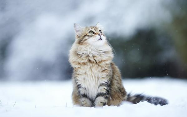 Katze-mit-grünen-Augen