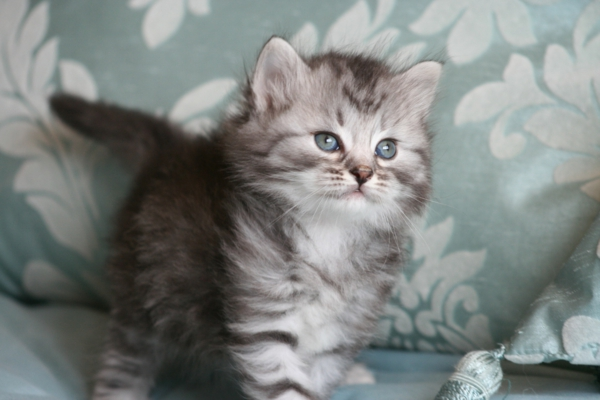 Silber-sibirisches-Kätzchen