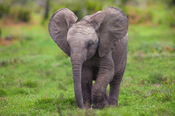 baby-elefant-läuft-auf-dem-gras