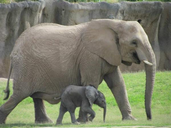 baby-elefant-läuft-neben-seiner-mutter