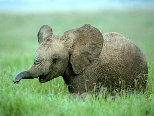 baby-elefant-mit-großen-lustig-wirkenden-ohren