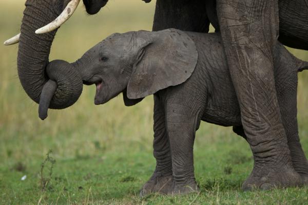 baby-elefant-neben-seiner-großen-mutter