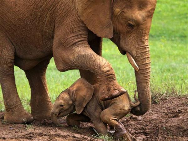 baby-elefant-unter-dem-großen-fuß-seiner-mutter