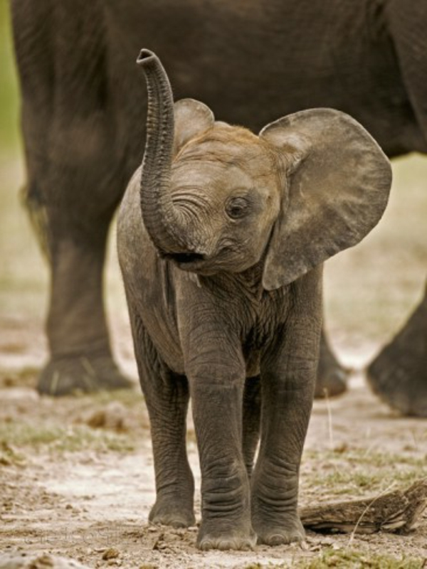 cooles-foto-vom-baby-elefant-vor-seiner-mutter