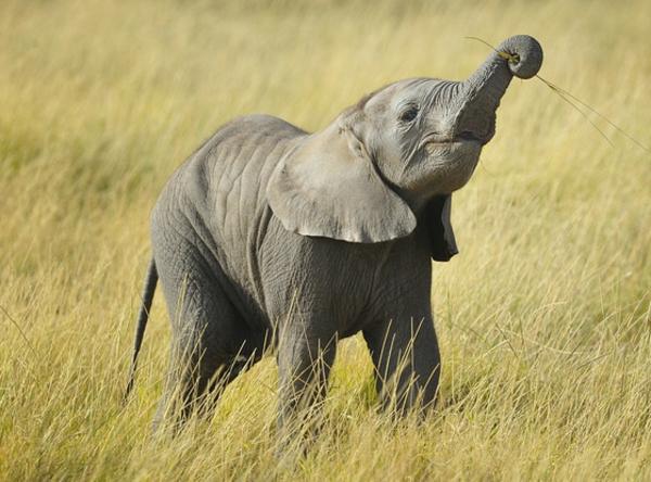 einmaliges-schönes-foto-vom-baby-elefant