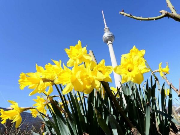 gelbe-schöne-blumen-in-berlin-neben-dem-fernsehturm-in-frühling