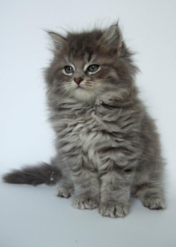 graue-Katze