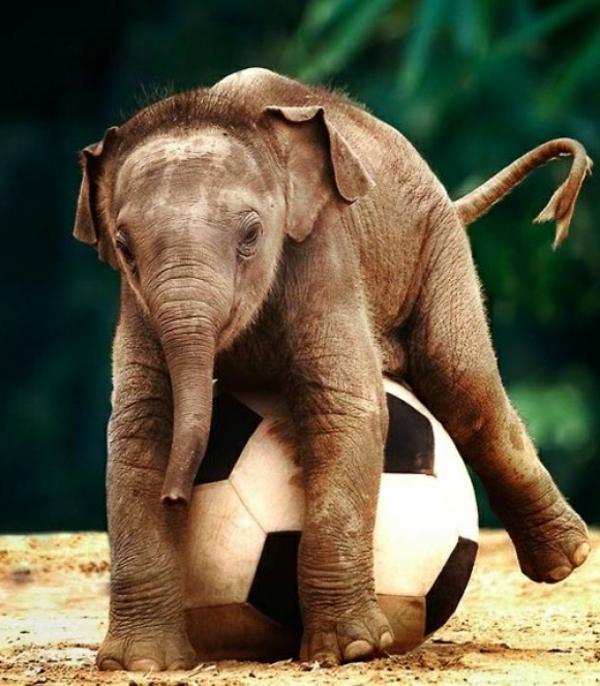 ein elefant baby spielt mit einem ball für fußball