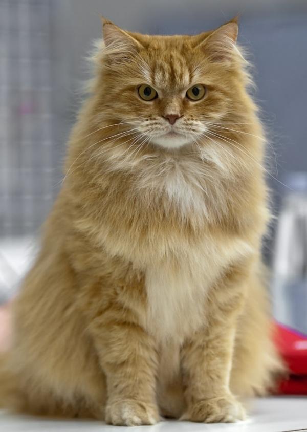 rötlich-braune sibirische Katze