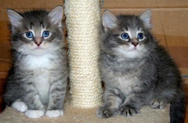 reinrassige-sibirische-Katzenbabys