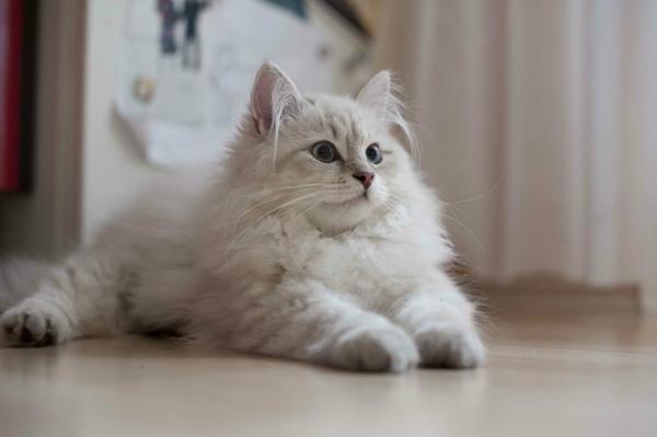 süße-weiße-Katze