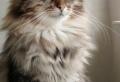 Die sibirische Katze – 30 supersüße Bilder