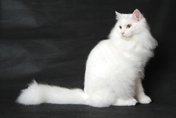 sibirische-Katze-Champion