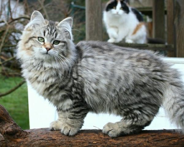 sibirische-Rassekatzen-zwei-Katzen-Hof