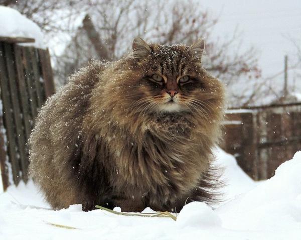 wilde-sibirische-Katze