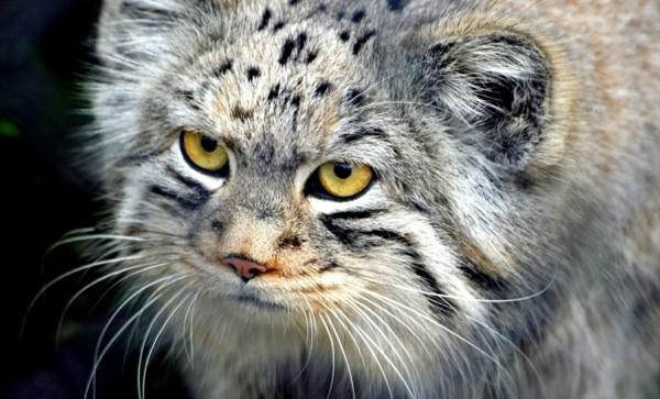 wilde-Katze