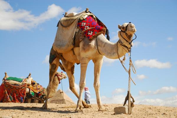 Ägypten-Reise-großes-kamel - blauer himmel