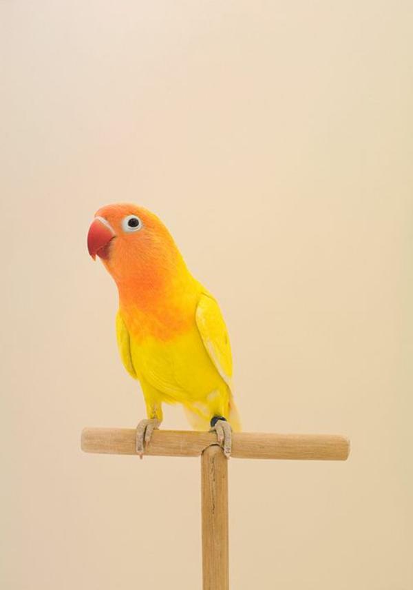 orange-papagei-rot-orange-gelb