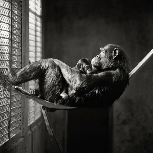 schwarz-weiß-Fotografie-Affen-Hängematte-Gitter
