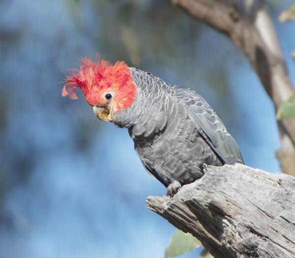 Callocephalon_fimbriatum_toller-papagei-bunter-papagei-kakadu-bilder-papagei-bilder