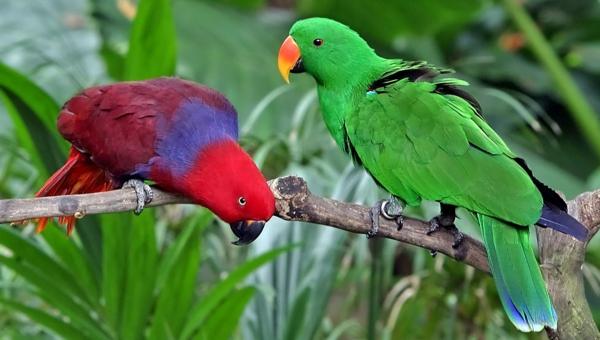 Eclectus_roratus-papagei-papagei-kaufen-papagei-kaufen-papagei-bilder-bunter-papagei