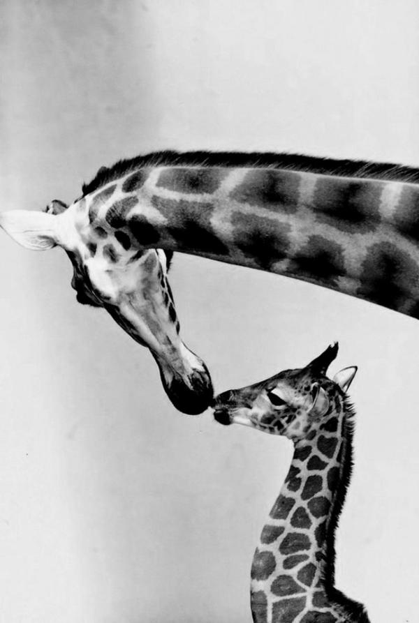Giraffen-Kuss-Mutter-Kind