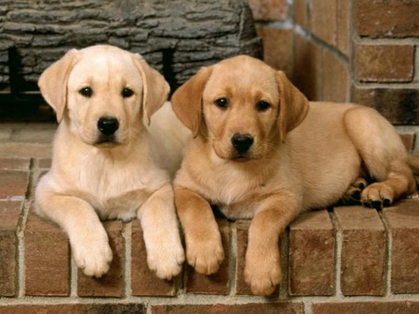 zwei-Labrador-Retriever