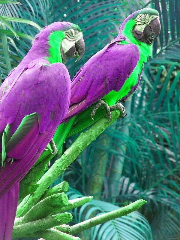 lila papagei