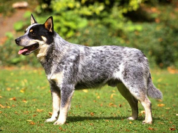 australischer-Hirtenhund-Natur