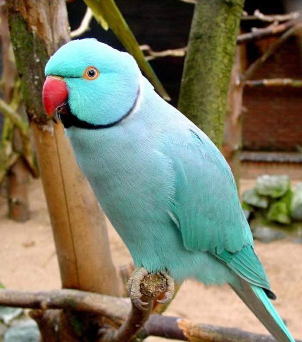 blauer-papagei-papagei-papagei-bilder-papagei