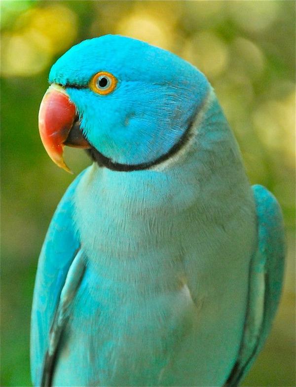 -blauer-papagei--papagei-bilder-papagei