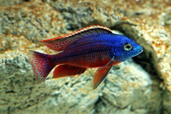aquarium fische schwarz
