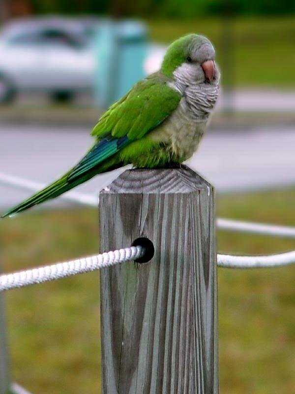 grüner-papagei-bunter-papagei-papagei-bilder-papagei