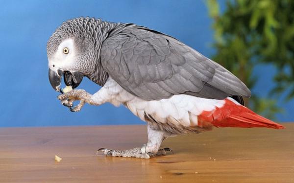 grauer-papagei-tolle-bilder-papagei-bilder